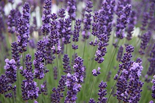 Munstead Lavender – Lavandula angustifolia - Potted -Herb...