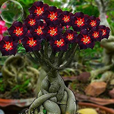 ADB Inc DD 2016 New 2 Pack Red Heart Brown Black Adenium Desert Rose with Fire Flower