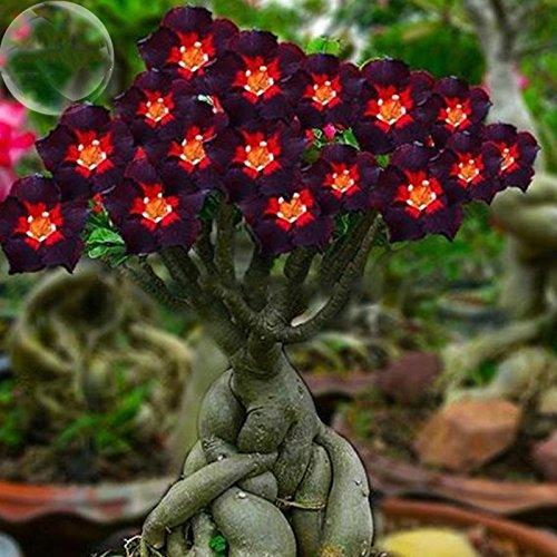 ADB Inc DD 2016 New 2 Pack Red Heart Brown Black Adenium Desert Rose with Fire Flower