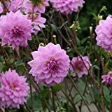 Dahlia Bulbs - OCEAN BIRD - Waterlily Dahlia, Spring Planting - 2 Bulbs