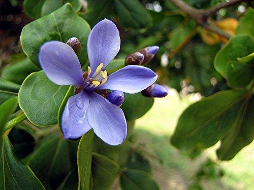 Lignum Vitae Tree - 8