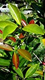 Grumichama Eugenia Brasilie Brazilian Cherry Plant Tree Seedling FROM HAWAII 6-10""
