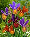 Dutch Iris bulbs,10 Bronze Blend, Rich, bronze colored Irises !