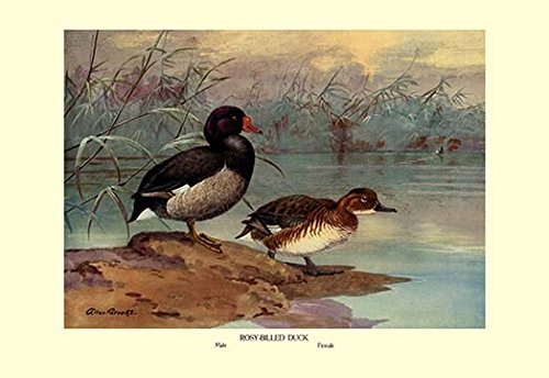 (Buyenlarge 0-587-08879-6-P1827 Rosy-Billed Duck Paper Poster, 18