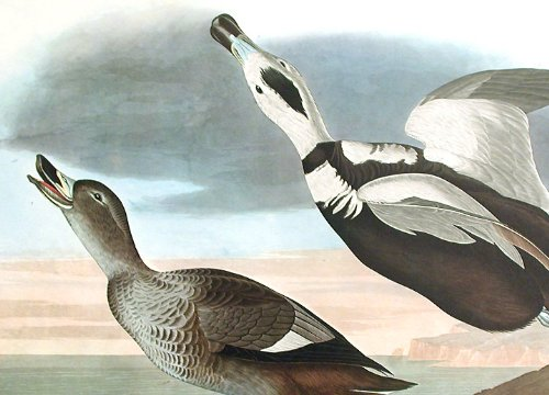 Pied Duck.''Birds of America'' (Amsterdam Edition) (Pl. 332) by