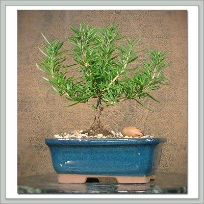 Amazon Com Rosemary Bonsai Tree Bonsai Plants Grocery Gourmet Food