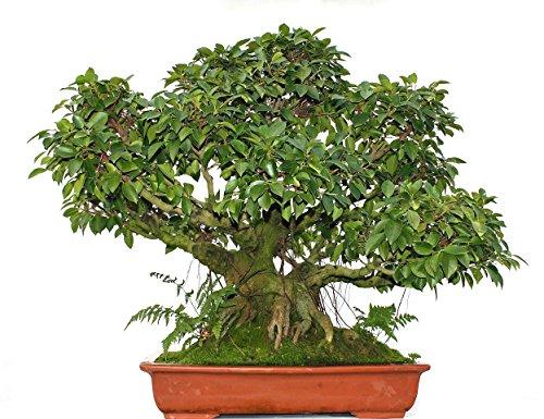 Bonsai Solitär groß in Schale inkl. Landschaft, Chinesische Feige, Ficus retusa, ca. 70 Jahre alt