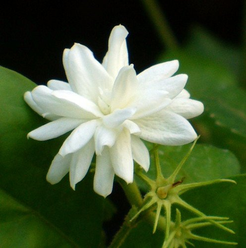 Arabian Tea Jasmine Plant - Belle of India - Sambac - 3'' Pot by Hirt's Gardens (Image #4)