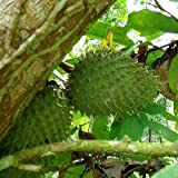 Annona Muricata - Soursop / Pawpaw - Rare Tropical Plant Tree Seeds (10)
