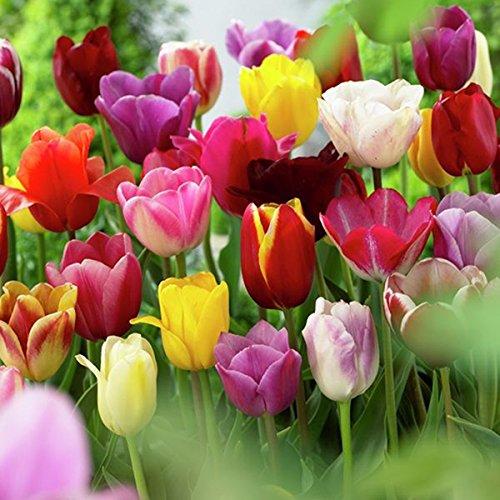 Van Zyverden 87017 Tulips - Non-Stop Mixed Colors Blend - Set of 25 Flower Bulbs, 12 (Mixed Colors Flower Bulbs)