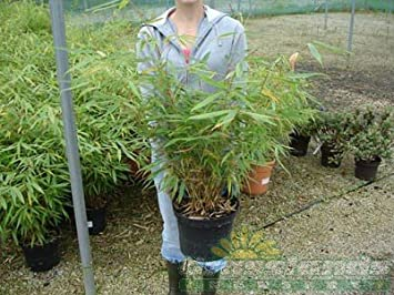 Fargesia Rufa Bamboo 9 Litre Pot 100cm x 2: Amazon.co.uk: Garden ...