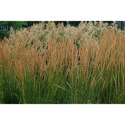 AchmadAnam - Five Karl Foerster Ornamental Grasses - 5 Perennial Plants - Calamagrostis : Garden & Outdoor