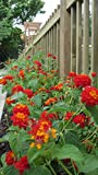 Dallas Red Lantana Bush Live 2 Plant Pack 6-12 Inches Tall 7-12 Months Old from Seed
