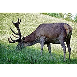 Gifts Delight Laminated 36x24 inches Poster: Hirsch Antler Carrier Antler Paarhufer Red Deer Forest Wild Food Graze Nature Mammal Wild Animal Animal World Real Deer