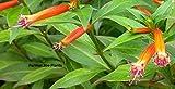 CUPHEA IGNEA - CIGAR PLANT - 1 LIVE PLANT - QUART POT