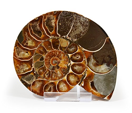 The 8 best fossil collectibles