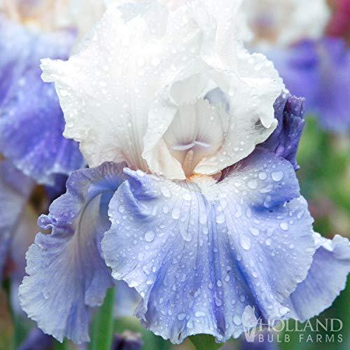 Stairway to Heaven Bearded Iris