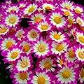 200pcs Mixed Color Cineraria Seeds Daisy Seeds Cineraria…