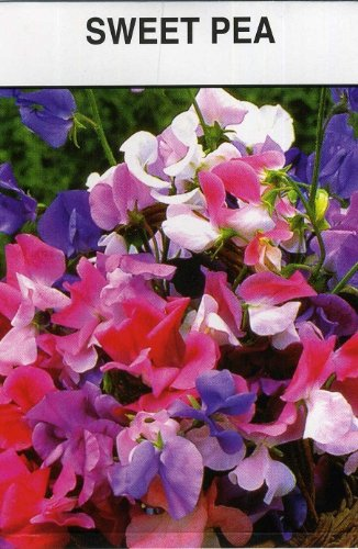 Set of 3 Large Sweet Pea Seed Packets ()