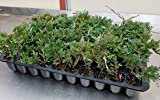 Sandys Nursery Online Juniper Blue Rug Ground Cover 1 Tray - 60 plants. Ideal for mass plantings and lining out stock.