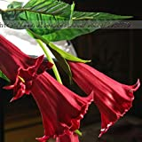 Mix color Datura flower seeds DWARF Brugmansia suaveolens Flamenco angel's Trumpets bonsai seed for home garden - 100 pcs / bag