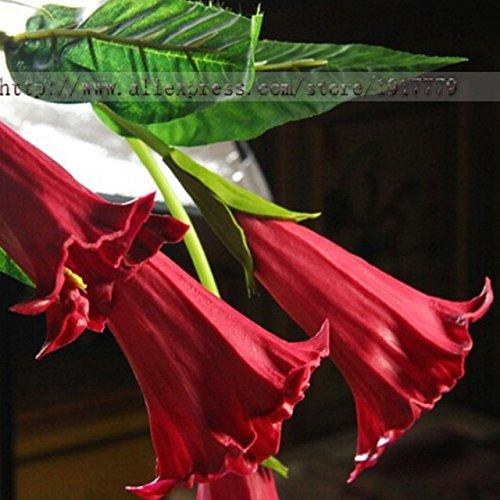 Brugmansia Angel Trumpet - Mix color Datura flower seeds DWARF Brugmansia suaveolens Flamenco angel's Trumpets bonsai seed for home garden - 100 pcs / bag