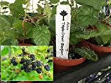 Triple Crown Thornless Blackberry Plant - Rubus Blackberry Live Plant
