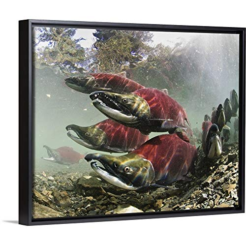 (CANVAS ON DEMAND Sockeye Salmon, Power Creek, Copper River Delta, Southcentral Alaska Black Floating Frame)