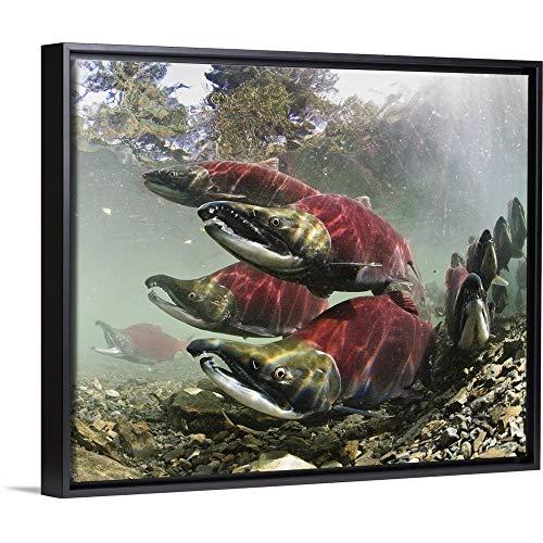 (Thomas Kline Floating Frame Premium Canvas with Black Frame Wall Art Print Entitled Sockeye Salmon, Power Creek, Copper River Delta, Southcentral Alaska)