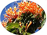 Florida Flame Flowering Tropical Vine Live Plant Prolific Bright Orange Spring Bloom Attracts Butterflies Starter 4 Inch Pot Emeralds tm
