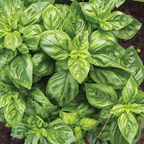 Burpee Pesto Party' Sweet Italian Basil Disease-Resistant, 3 Live Plants | 2 1/2'' Pot by Burpee (Image #2)