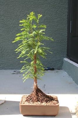 M&m Bonsai Bald Cypress Tree