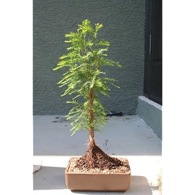 M&M BONSAI BALD CYPRESS TREE : Bonsai Plants : Grocery & Gourmet Food