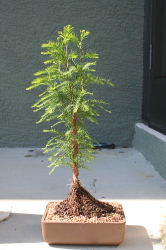 M&M BONSAI BALD CYPRESS TREE (Cypress Bald Bonsai)