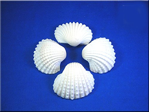 1/2lb (about 15) Large White Ark Shells Seashells (1 3/4'' - 2 1/4'') Beach Wedding Hobby Crafts by Florida Shells and Gifts (Image #3)