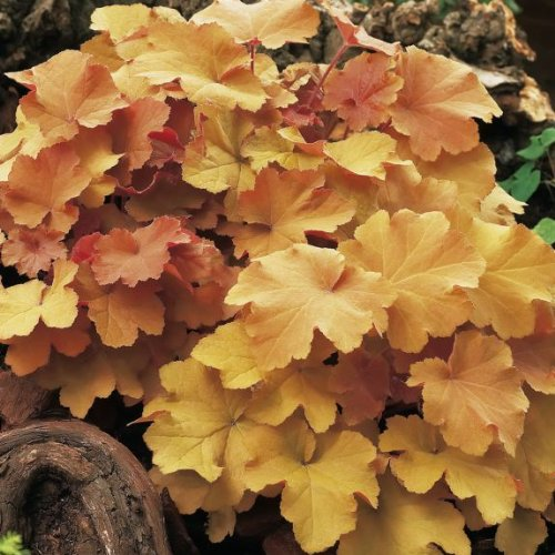 Coral Bells Perennial - 3 Caramel Heuchera/ Coral Bells in 4 Inch Pots-- Great for Fall Planting!