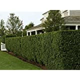 (1 gallon) WAX MYRTLE, beautiful, glossy, olive-green, aromatic foliage, makes for attractive tall screen or specimen tree