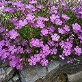 Outsidepride Dianthus - Amurensis