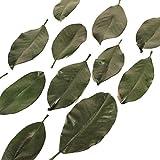 200 Preserved Magnolia Leaves