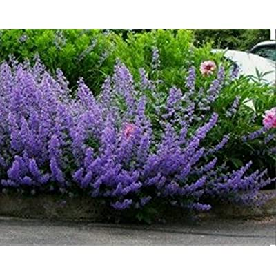 200+ CATMINT Herb- Mussins Nepeta Racemosa Flower Seeds-Non GMO-Open Pollinated. : Garden & Outdoor