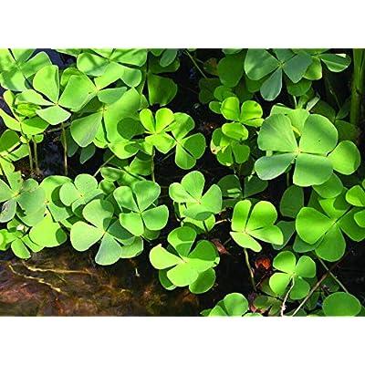 Cheap Fresh Live Aquatic Plant Water Clover Fern Marsilea Quadrifolia Edible Get 15 Easy Grow #PMG01YN : Garden & Outdoor