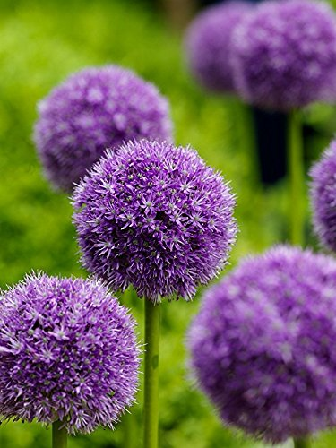 100 Purple Giant Allium Giganteum Beautiful Flower Seeds Garden Plant