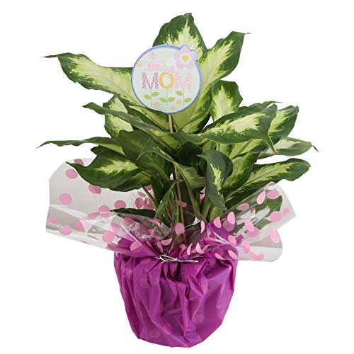 Costa Farms Dumb Cane Dieffenbachia, Live Indoor Plant Decorated in Gift-Wrap 16 to 20-Inches Tall, Mother's ()