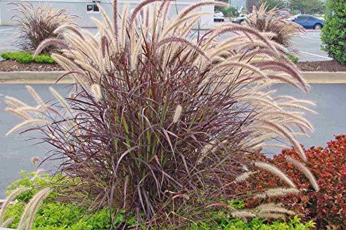 (Pennisetum setaceum Rubrum Red Fountain Grass 2 Pint Plants)