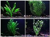 Easy Live Aquarium Plants Package - 4 Kinds - Anacharis, Amazon and more! by Aquarium Plants Inc