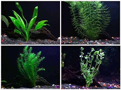 15 + stems / 4 species Live Aquarium Plants Package - Anacharis, Amazon , Hornwort and Moneywort - (10-50 Gallon Aquariums)