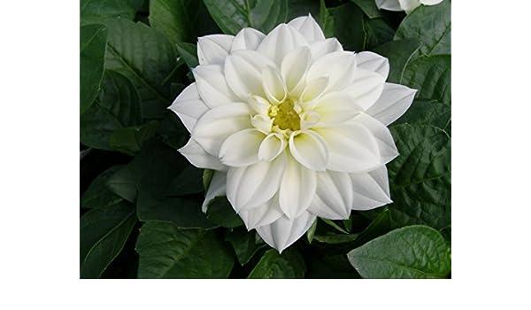 Figaro White Dahlia 25 Seeds