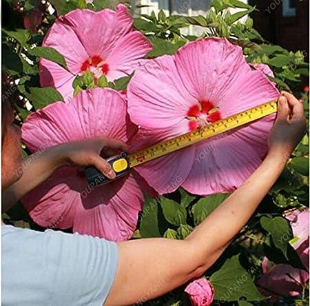 Mazzo Di Fiori Gigante.Semi 100pcs Hibiscus Fiore Rosa Gigante Cinese Bonsai Eleganti