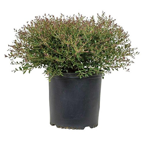 2.5 Quart - Yaupon Bordeaux Dwarf Holly - (Ilex Vomitoria) - Rounded Growth Habit With Deep Burgundy-Red New Foliage
