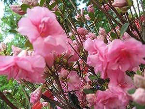 10 Plans one Gallon Rosebud Azalea, Rose Like Flowers